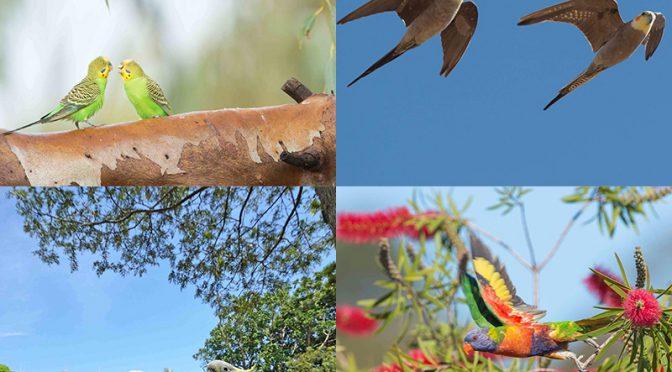 オーストラリア在住の、写真家・岡本勇太氏による「オーストラリアのオウム・インコたち」講演開催!