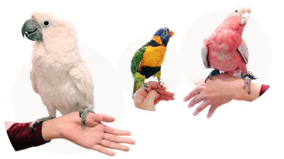 オオバタンやモモイロインコの小鳥スタッフ